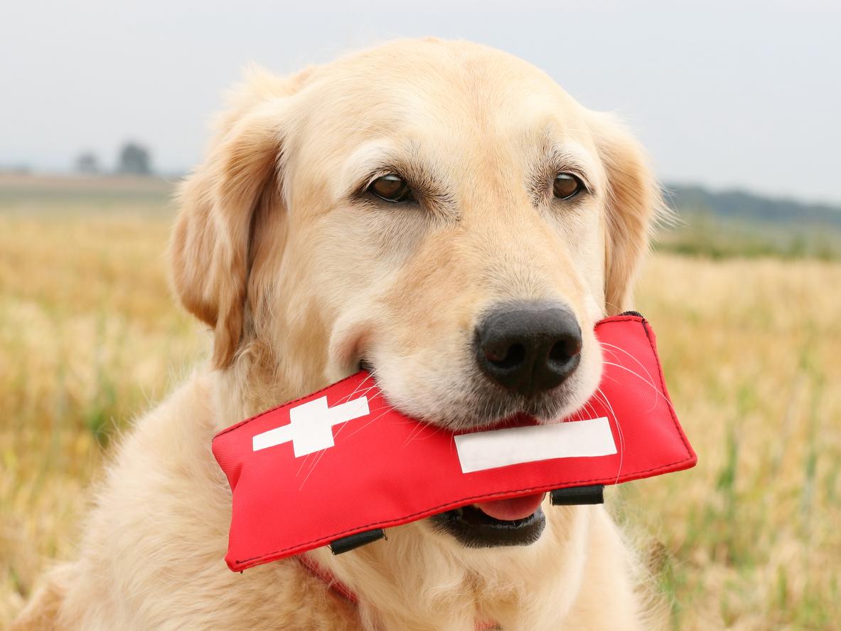 Koirien tarkka hajuaisti auttaa sairauksien löytymisessä